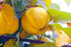 Branch of tree with ripe fruits of quince and leaves.  stock photos