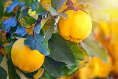 Branch of tree with ripe fruits of quince and leaves.  royalty free stock image