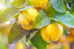 Branch of tree with ripe fruits of quince and leaves.  royalty free stock photography