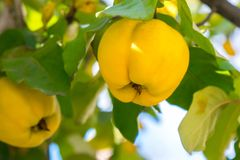 Branch of tree with ripe fruits of quince and leaves.  royalty free stock photo