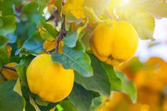 Branch of tree with ripe fruits of quince and leaves.  royalty free stock images