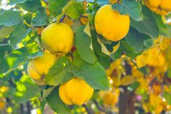 Branch of tree with ripe fruits of quince and leaves.  royalty free stock photos
