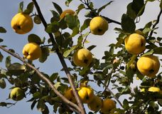 Branch of the tree with the fruits of quince. Branch of tree with ripe fruits of quince and leaves Royalty Free Stock Photos