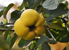 Branch of the tree with the fruits of quince. Branch of tree with ripe fruits of quince and leaves Royalty Free Stock Photography