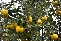 Branch of the tree with the fruits of quince. Branch of tree with ripe fruits of quince and leaves Royalty Free Stock Image
