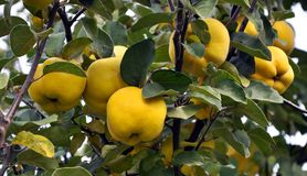 Branch of the tree with the fruits of quince. Branch of tree with ripe fruits of quince and leaves Stock Image