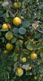 Branch of the tree with the fruits of quince. Branch of tree with ripe fruits of quince and leaves Stock Photo