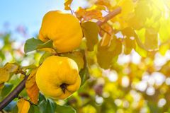 Branch of tree with ripe fruits of quince and leaves.  stock photography