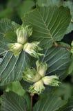 On a branch of a tree ripen nuts hazel. On a branch of a tree with leaves ripen nuts hazel stock photos