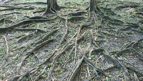 Branch of tree roots Stock Photos