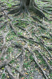 Branch of tree roots Stock Photo