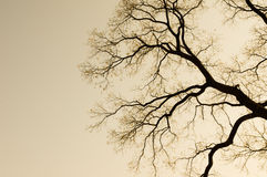 Branch of Tree Silhouette. In the evening Royalty Free Stock Image