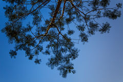 Branch of Tree Silhouette Royalty Free Stock Photo