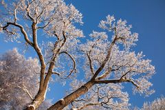 Branch of a tree in the snow Royalty Free Stock Image