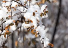 Branch of a tree in the snow in the winter Stock Photography