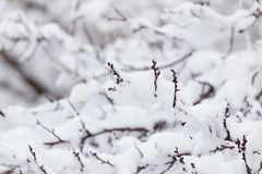 Branch of a tree in the snow in the winter Royalty Free Stock Photography