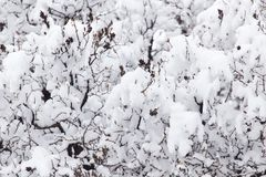 Branch of a tree in the snow in the winter Stock Photo