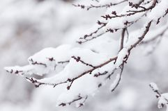 Branch of a tree in the snow in the winter Royalty Free Stock Photos