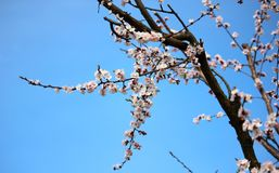 Branch of a tree in spring. Blooming apricot tree in spring against the background of the golububy sky. stock image