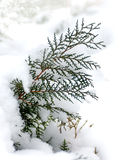 Branch of a tree thuja covered with snow Stock Photo