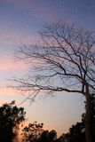 Branch tree on twilight background. With orange and purple sky tone Royalty Free Stock Photography