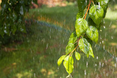 Branch of the tree under the rain. And rainbow Stock Image