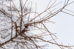 Branch of tree under snow Stock Photo