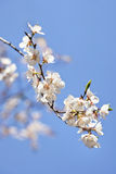 Branch of a tree with white blossom Royalty Free Stock Photos