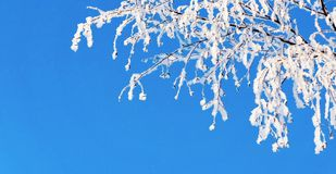 Branch of tree with white snow and brilliant hoarfrost Stock Image