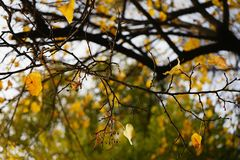 Branch tree yellow leaves close-up autumn nature outdoors. Branch tree yellow leaves close-up autumn nature garden day sky Stock Photos