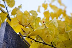 Branch tree yellow leaves close-up fence wood sky outdoors autumn nature garden. Branch yellow leaves fence wood sky outdoors autumn nature garden village color Stock Images