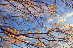 Branch of tree with yellow leaves. Branch of trees with yellow leaves against the blue cloudy sky. Theme of autumn Stock Photo