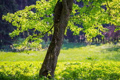 Branch of a tree and young green foliage Royalty Free Stock Photo