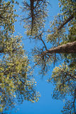 Branch trees and blue sky in elevation view Royalty Free Stock Image