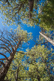 Branch trees and blue sky in elevation view Stock Photography
