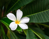 Branch of tropical flower frangipani Stock Image