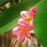 Branch of tropical flowers. Frangipani (plumeria Stock Photography