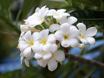 Branch of tropical flowers frangipani Royalty Free Stock Photo
