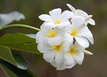 Branch of tropical flowers frangipani Stock Photos