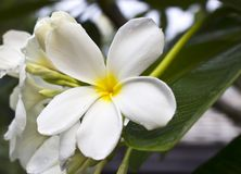 Branch of tropical flowers frangipani Royalty Free Stock Image