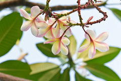 Branch of tropical flowers frangipani Royalty Free Stock Photography