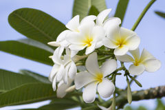 Branch of tropical flowers frangipani (plumeria) Stock Photo
