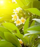 Branch of tropical flowers frangipani Royalty Free Stock Photos