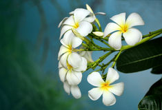 Branch of tropical flowers frangipani (plumeria) Royalty Free Stock Images