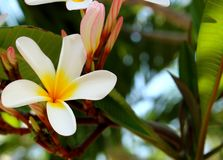 Branch of tropical flowers frangipani. Royalty Free Stock Image