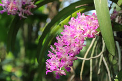 Branch of tropical orchid flower. Royalty Free Stock Images