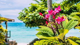 Branch of tropical pink flowers frangipani plumeria with palm tree, beach and ocean in background Royalty Free Stock Photo