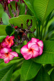 Branch of tropical red flowers frangipani (plumeria) Royalty Free Stock Photography