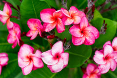 Branch of tropical red flowers frangipani (plumeria) Stock Photos