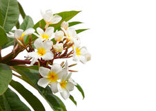 Branch of tropical white flowers. Stock Photos